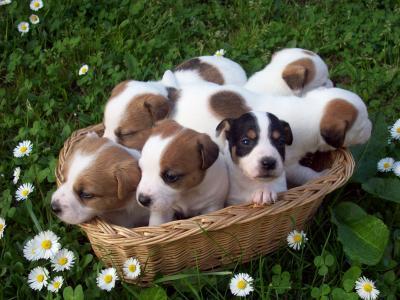 Vendita Cuccioli Jack Russel Terrier Lo Scodinzolo