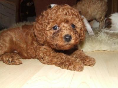 Vendita cuccioli barboncino lo scodinzolo for Barboncino nano toy