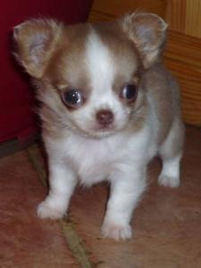 Vendita Cuccioli Chihuahua Lo Scodinzolo