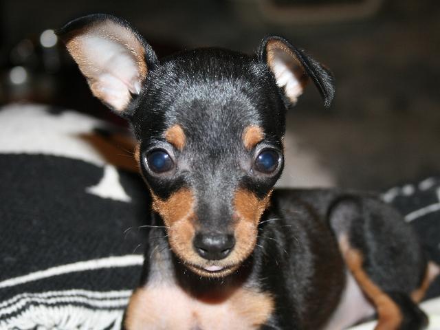 Vendita cuccioli pinsher lo scodinzolo for Pincher cucciolo