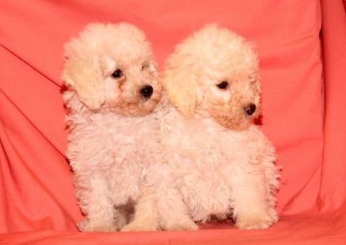 Vendita cuccioli cuccioli disponibili lo scondinzolo for Cani giocherelloni